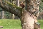 Highland Club Red Squirrel, Wildlife in Loch Ness